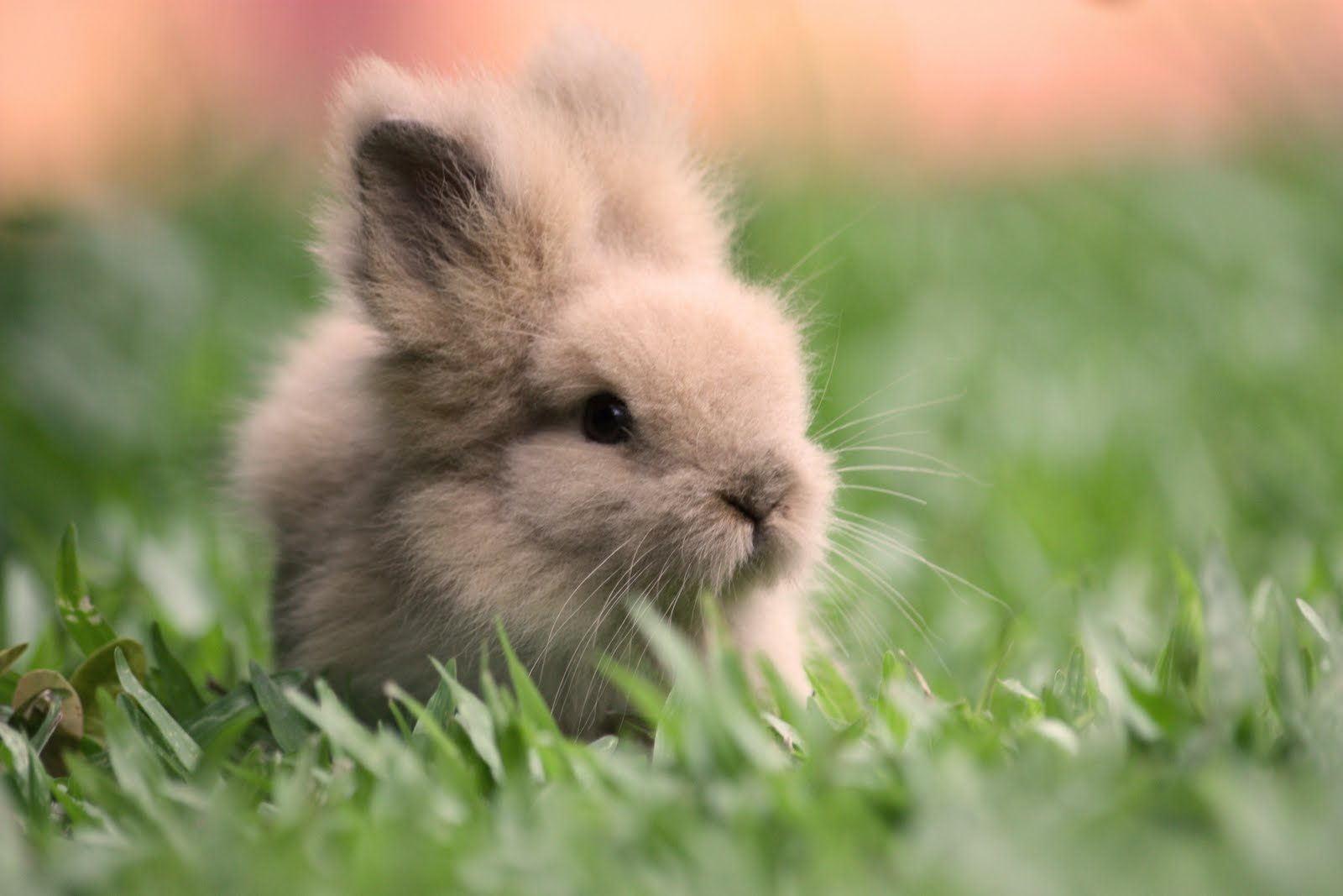 Conejo doméstico enano :: Imágenes y fotos