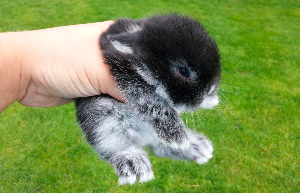 Conejos Mini Lop