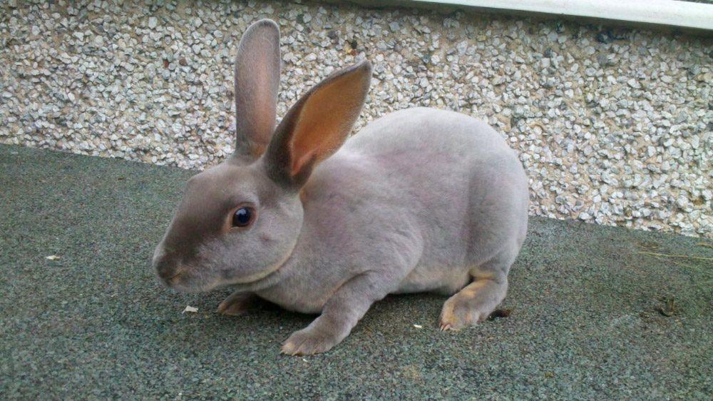 Conejos Rex