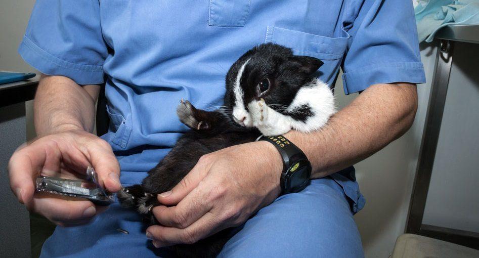 Cortar las uñas del conejo en el veterinario :: Imágenes y