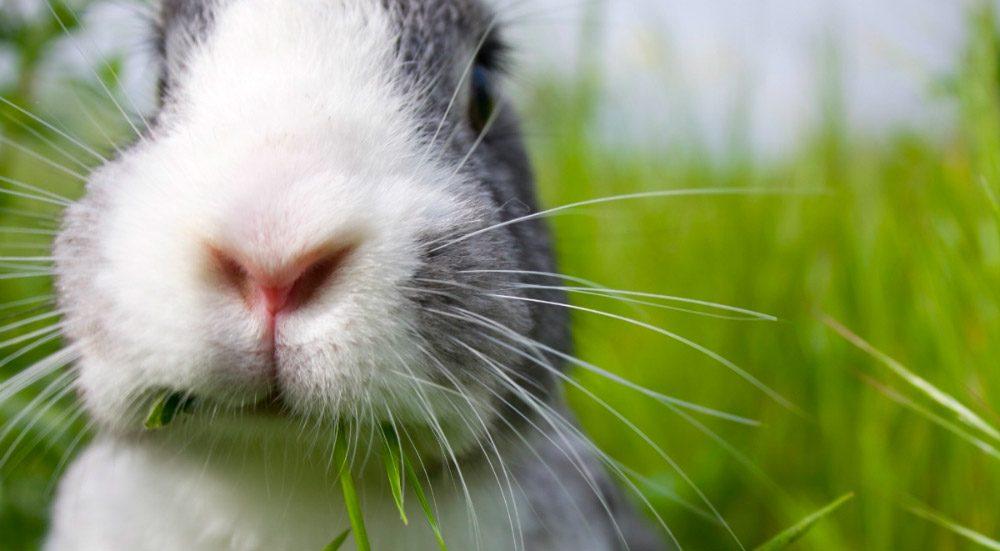 Dientes del conejo, ¿cómo cuidarlos?