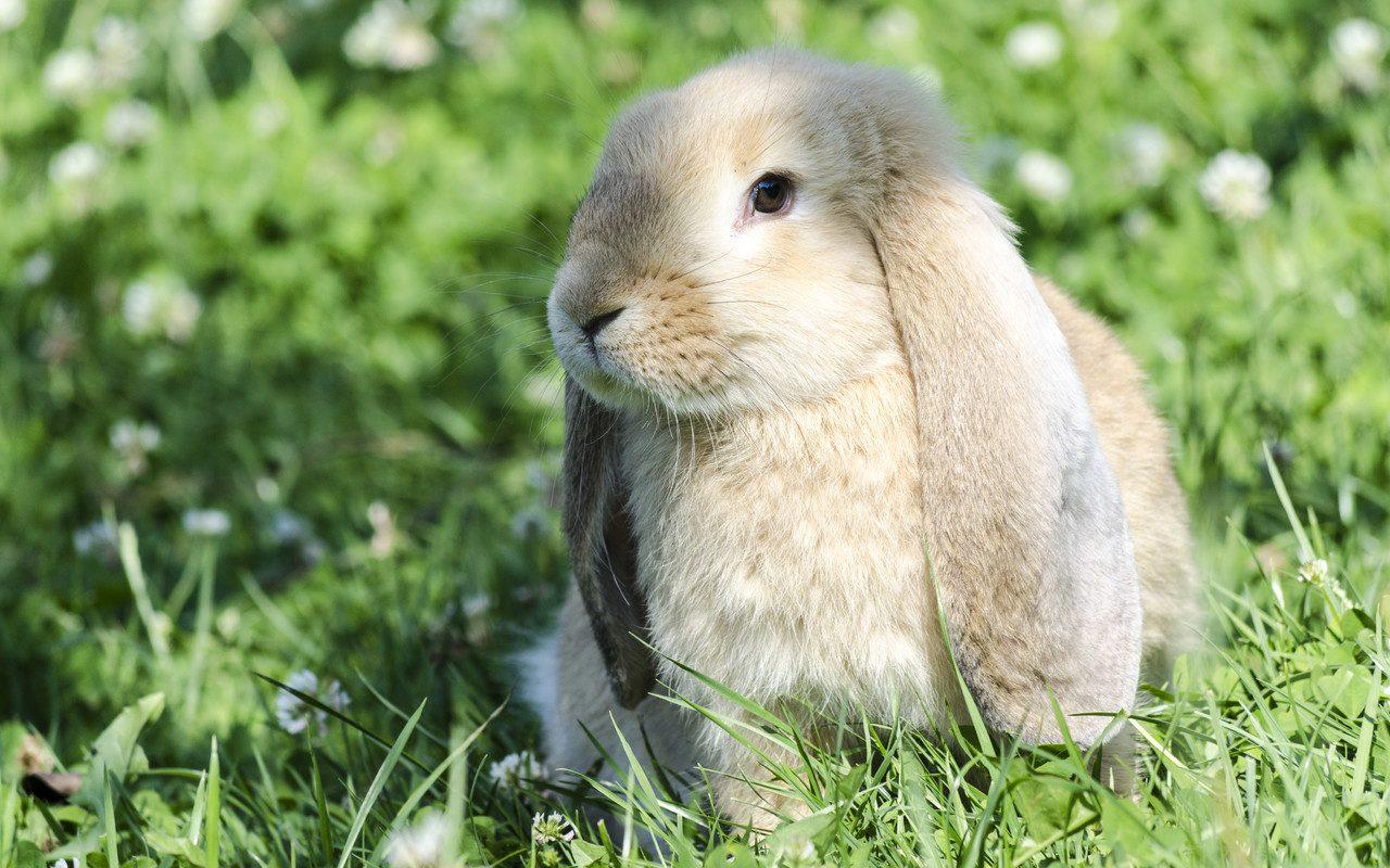 Conejos domésticos y razas de conejos enanos.
