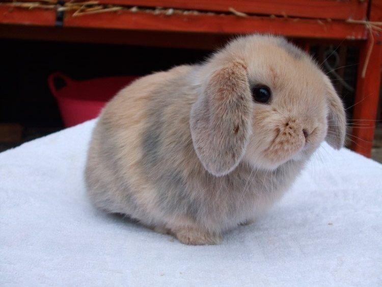 Galer a de im genes conejos belier enanos - Casas para conejos enanos ...