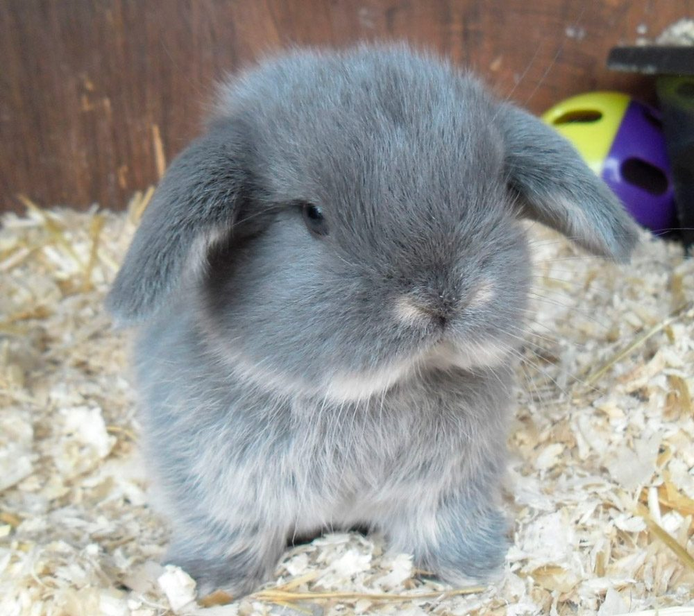 Fotos de conejos gordos