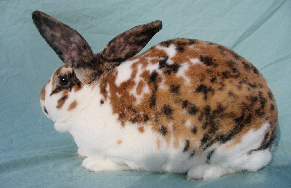 Broke dick gargantillas de conejo