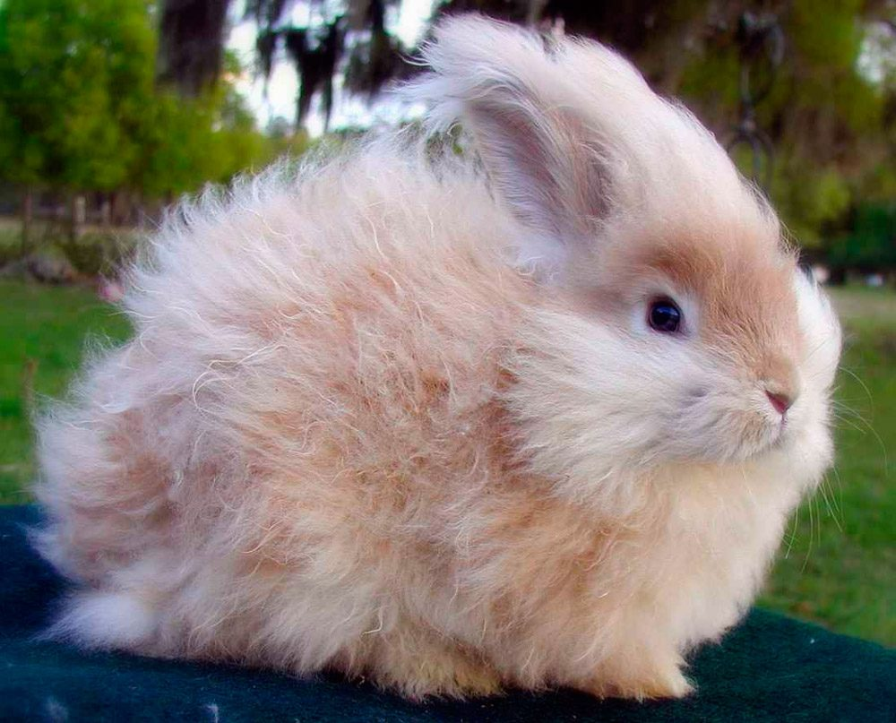 Hermoso conejo enano de angora im genes y fotos - Casas para conejos enanos ...