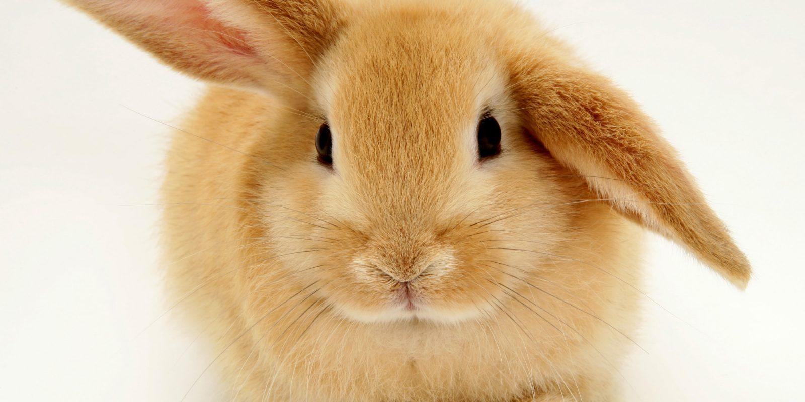 Conejos domsticos y razas de conejos enanos