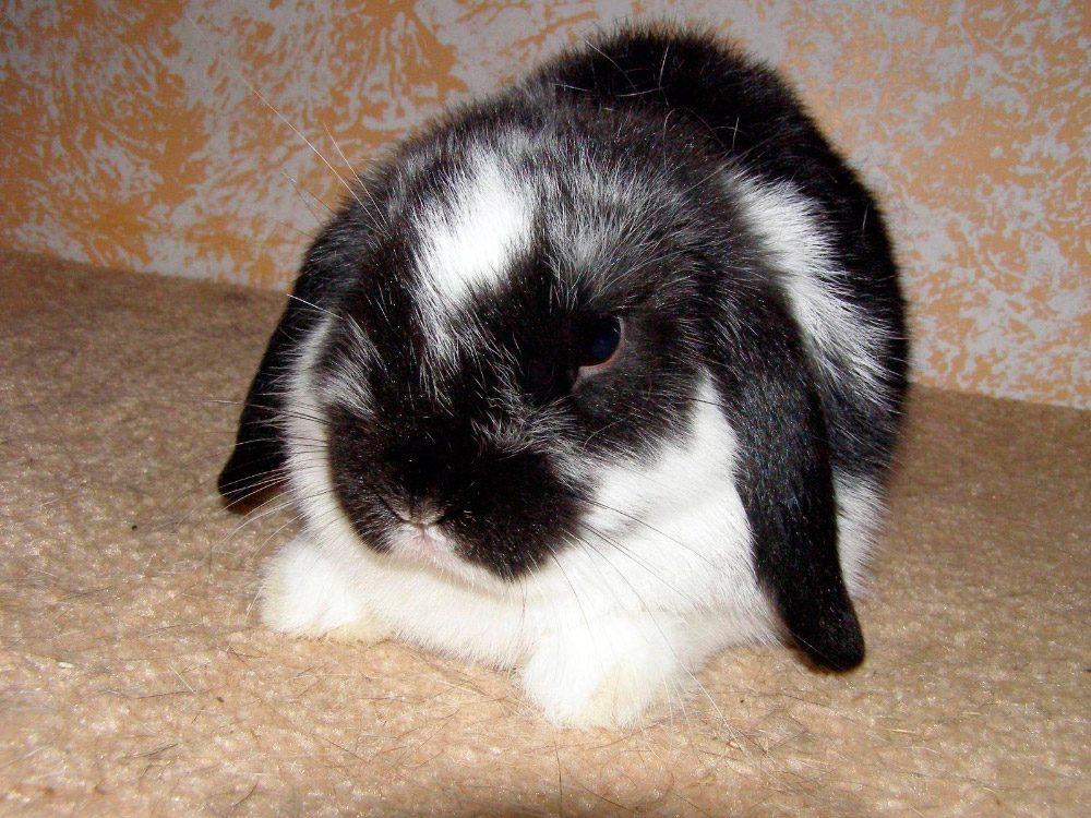 galer a de im genes conejos mini lop. Black Bedroom Furniture Sets. Home Design Ideas