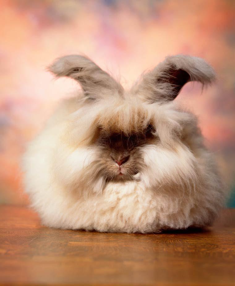 baby english angora rabbit