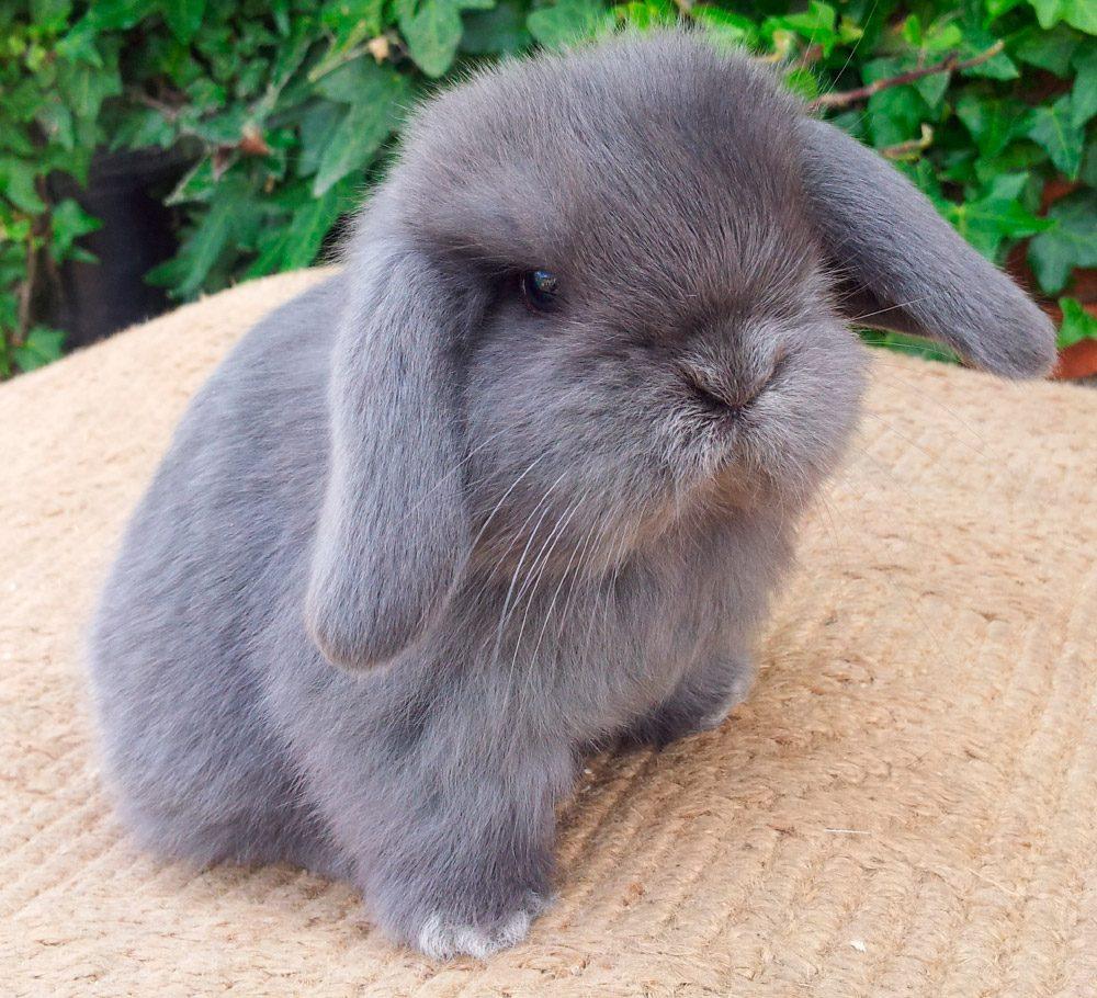 Raza de conejos Mini Lop :: Imágenes y fotos